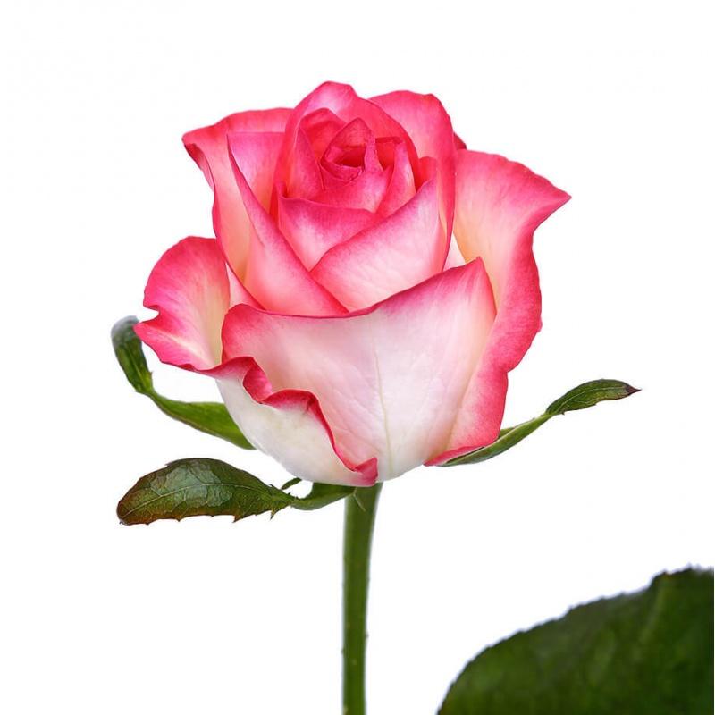 Букет из 23 розы Джумилия