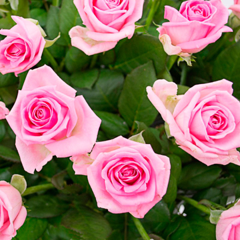 Букет из 51 розовой розы «Великолепный выбор»