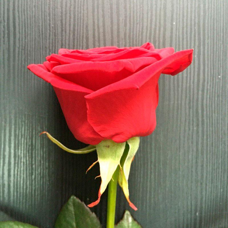 Роза Красная Наоми РБ